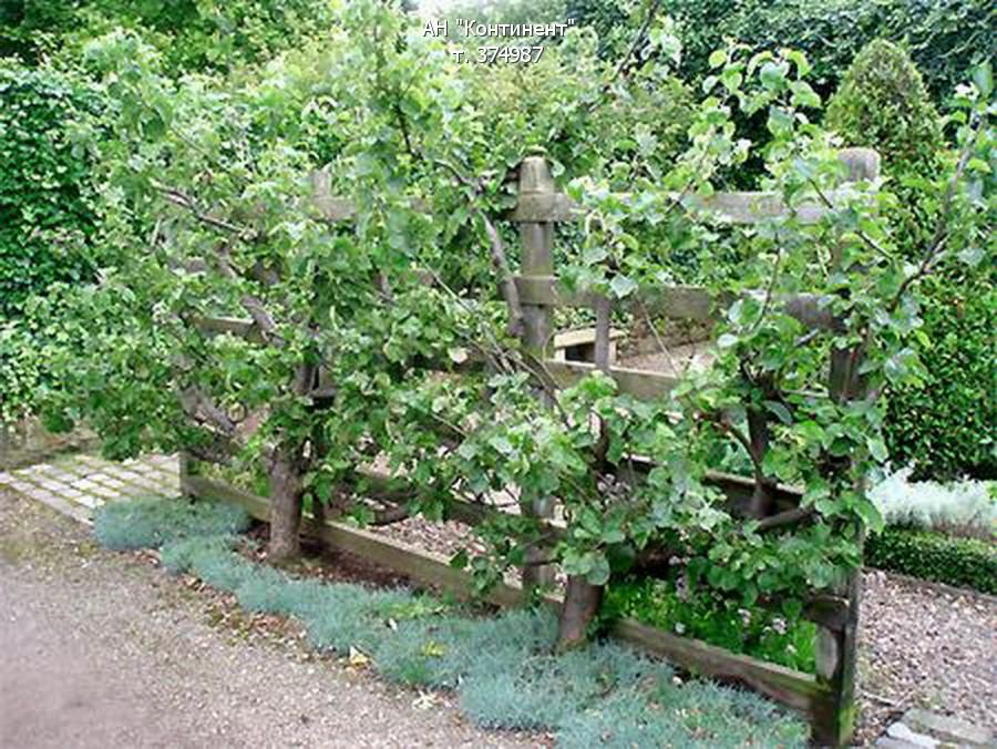 Выращивание плетистых роз в сибири 3